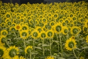 Kiose Sunflower-festival